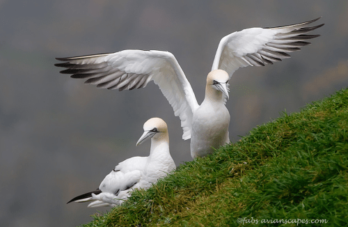 animals-animals-animals:</p> <p>Northern Gannets (by Fab Forns)