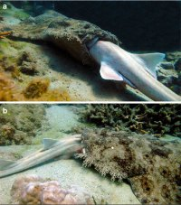 (Carpet) shark eating (brown-banded bamboo)...