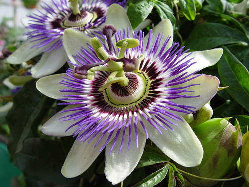 "signum-crucis:</p><br /><br /><br /><br /><br /><br /><br /><br /><br /><br /> <p>Passion Flower (Passiflora) — Symbol of Christ's Passion and Cross: including his scourging, crowning with thorns, three nails and five wounds.—Reparation Through FlowersIn the 15th and 16th centuries, Spanish Christian missionaries adopted the unique physical structures of this plant, particularly the numbers of its various flower parts, as symbols of the last days of Jesus and especially his crucifixion:* The pointed tips of the leaves were taken to represent the Holy Lance.* The tendrils represent the whips used in the flagellation of Christ.* The ten petals and sepals represent the ten faithful apostles (less St. Peter the denier and Judas Iscariot the betrayer).* The flower's radial filaments, which can number more than a hundred and vary from flower to flower, represent the crown of thorns.* The chalice-shaped ovary with its receptacle represents a hammer or the Holy Grail* The 3 stigmata represent the 3 nails and the 5 anthers below them the 5 wounds (four by the nails and one by the lance).* The blue and white colours of many species' flowers represent Heaven and Purity.The flower has been given names related to this symbolism throughout Europe since that time. In Spain, it is known as espina de Cristo (""Christ's thorn""). German names include Christus-Krone (""Christ's crown""), Christus-Strauss (""Christ's bouquet""), Dorn-Krone (""crown of thorns""), Jesus-Leiden (""Jesus' passion""), Marter (""passion"") or Muttergottes-Stern (""Mother of God's star"").—Passionflower: Etymology and NamesThe passion fruit is a vigorous, climbing vine that clings by tendrils to almost any support. It can grow 15 to 20 ft. per year once established and must have strong support.—PassionfruitEtymology: PASSIONlate 12c., ""sufferings of Christ on the Cross,"" from O.Fr. passion, from L.L. passionem (nom. passio) ""suffering, enduring,"" from stem of L. pati ""to suffer, endure,"" from PIE base *pei- ""to hurt"" (cf. Skt. pijati ""reviles, scorns,"" Gk. pema ""suffering, misery, woe,"" O.E. feond ""enemy, devil,"" Goth. faian ""to blame""). Sense extended to sufferings of martyrs, and suffering generally, by early 13c.; meaning ""strong emotion, desire"" is attested from late 14c., from L.L. use of passio to render Gk. pathos. Replaced O.E. þolung (used in glosses to render L. passio), lit. ""suffering,"" from þolian (v.) ""to endure.""<br /><br /><br /><br /><br /><br /><br /><br /><br /><br /><br /> For the invisible things of Him, from the creation of the world, are clearly seen, being understood by the things that are made; His eternal power also, and divinity.—Romans 1:20<br /><br /><br /><br /><br /><br /><br /><br /><br /><br /><br />"