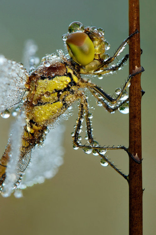 "earth-song:   ""Darter closeup"" by Erik Veldkamp  How much heavier would we be if we carried water around the way this insect does? What if the fluid was lemonade? What would happen in a dust storm?"
