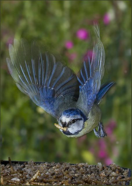 BIF azulão 8841 s por psmithuk no Flickr.
