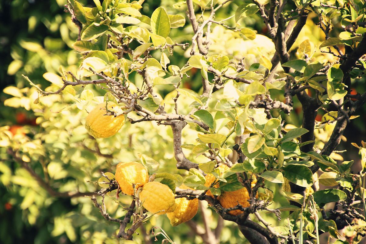 lemon tree, borghese, rome, italy, 2012 (digital)