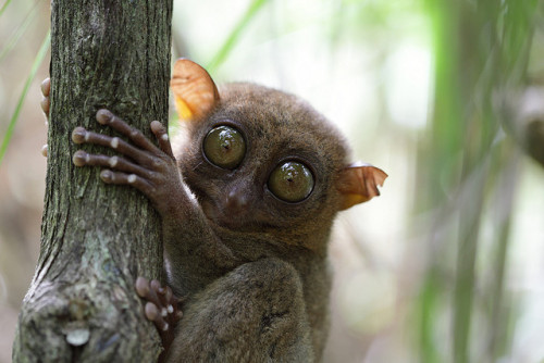animals-animals-animals: Tarsier (by PacificKlaus)