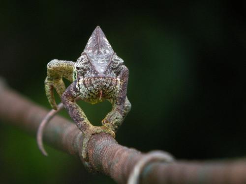animals-animals-animals: Malagasy Giant Chameleon (Furcifer oustaleti) (by Frank.Vassen)