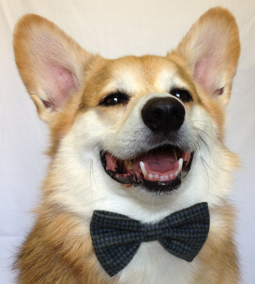 Corgi Wallpaper Cute Dog Cute Adorable Fashion Animal Corgi Pet Bow Tie