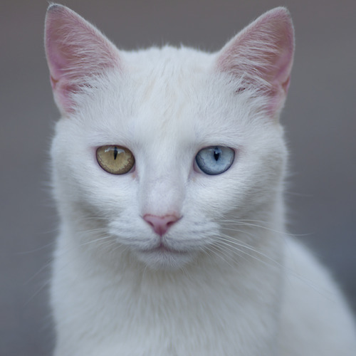 getoutoftherecat: heterochromatic cat of the week