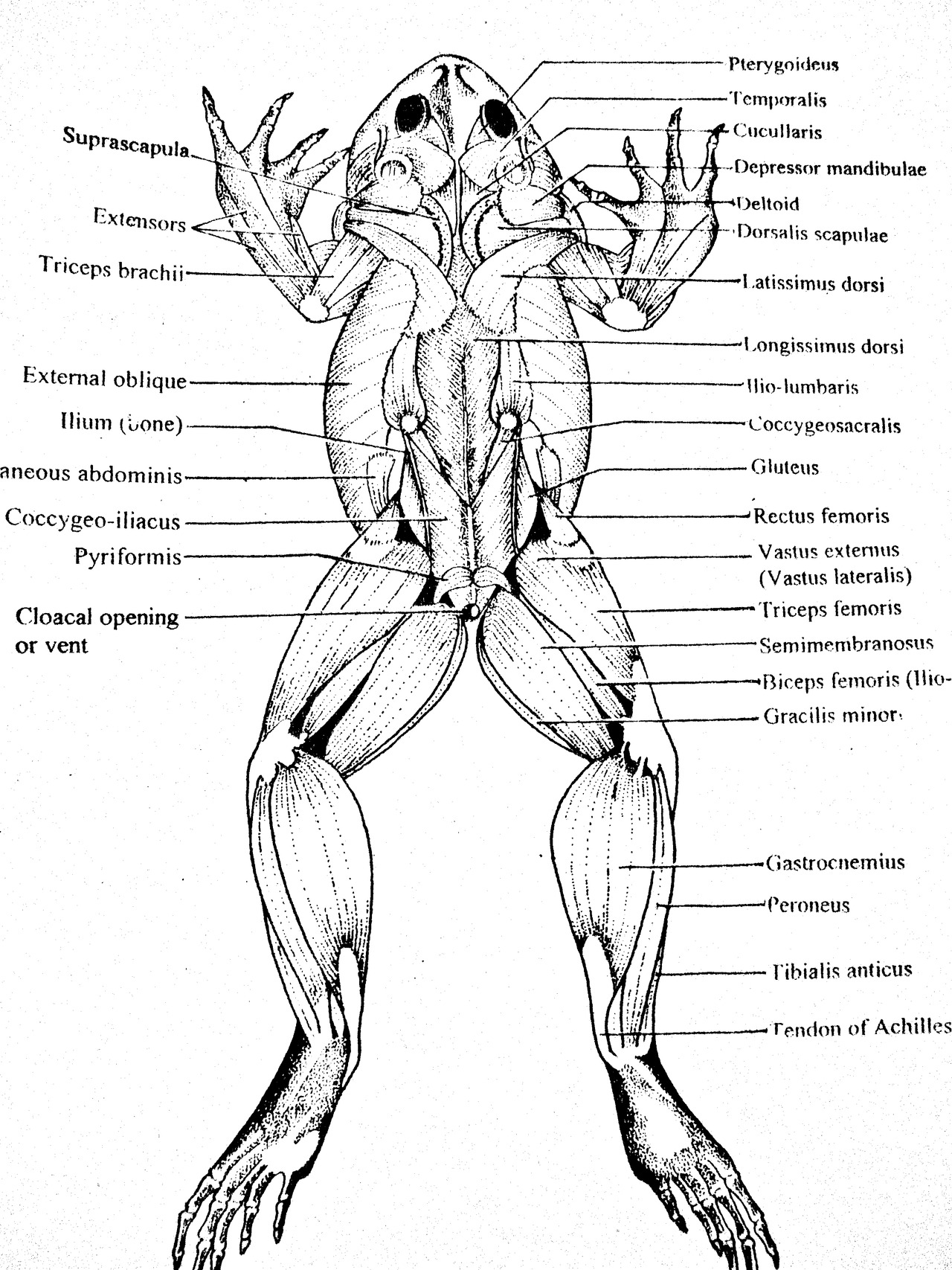 frog bone diagram 2001 chevy cavalier engine muscular system dorsal view clearly draw the line