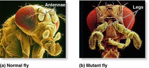 Antennapedia, celebre mutante di drosophila con zampe al posto delle antenne