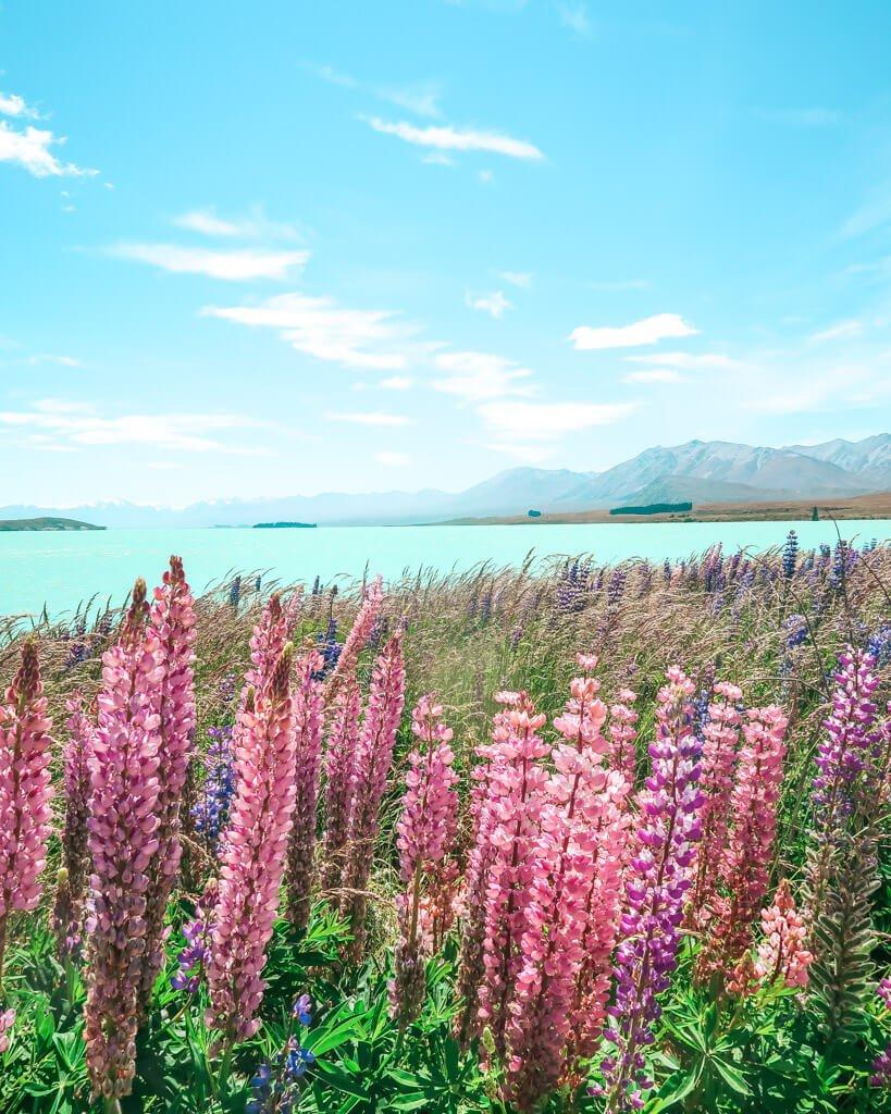 lupins in bloom lake Tekapo New Zealand South Island