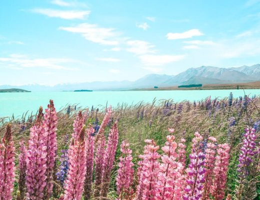 lupins in bloom lake Tekapo New Zealand South Island