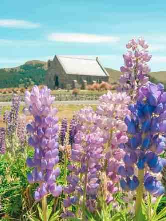 church of the good shepherd lake tekapo lupins