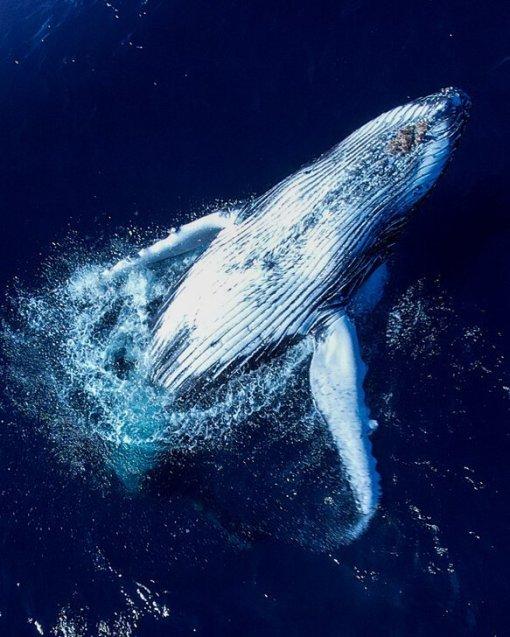 breaching whale at bondi beach