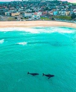 whales at Bondi Beach