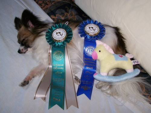 Lucy tired after getting her Novice Jumpers with Weaves title at the Papillon National Specialty in 2009.