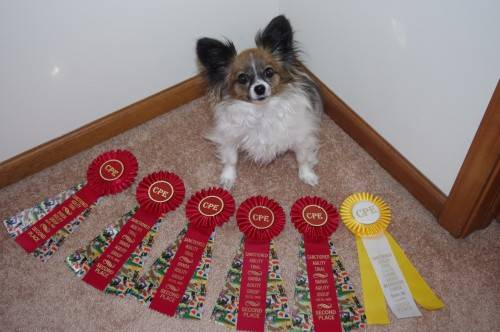 Lucy and I competed in 3 shows this month, all classes are in Level 5: 5/5/13- Dexter, MI: Standard- Q, 2nd/6, Fullhouse- Q, 2nd/7, Jumpers- Q, 2nd/6; 5/11/13-Dexter, MI: Fullhouse-  Q, 3rd/5, Jumpers-  Q, 3rd/5, Snooker- NQ-my fault!  I sent her to the wrong jump and she followed like a good girl!; 5/25/13-Delta, OH-Standard- Q, 2nd/3, Jumpers- Q, 2nd/2, Jackpot- NQ-she decided she was done after a jump and ran to the table to end the run, finishing with 40 points, when we needed 44 points.  Silly girl!