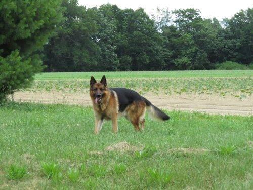 6-25-17 Farm Dog Test (7)