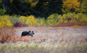 Bear in Washington