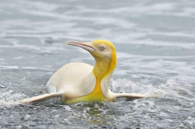 A yellow penguin you've never seen before: a wildlife photographer takes an incredible picture