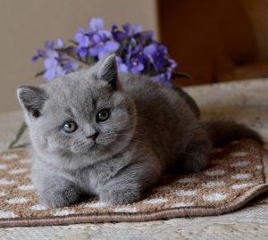 Чем болеют британские кошки.