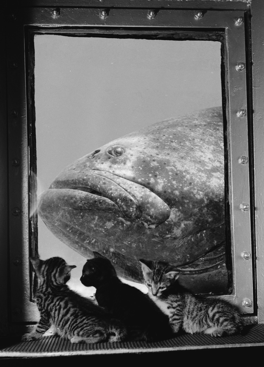 A grouper is examined by three kittens at Marineland in Florida, 1938.Photograph by Luis Marden, National Geographic