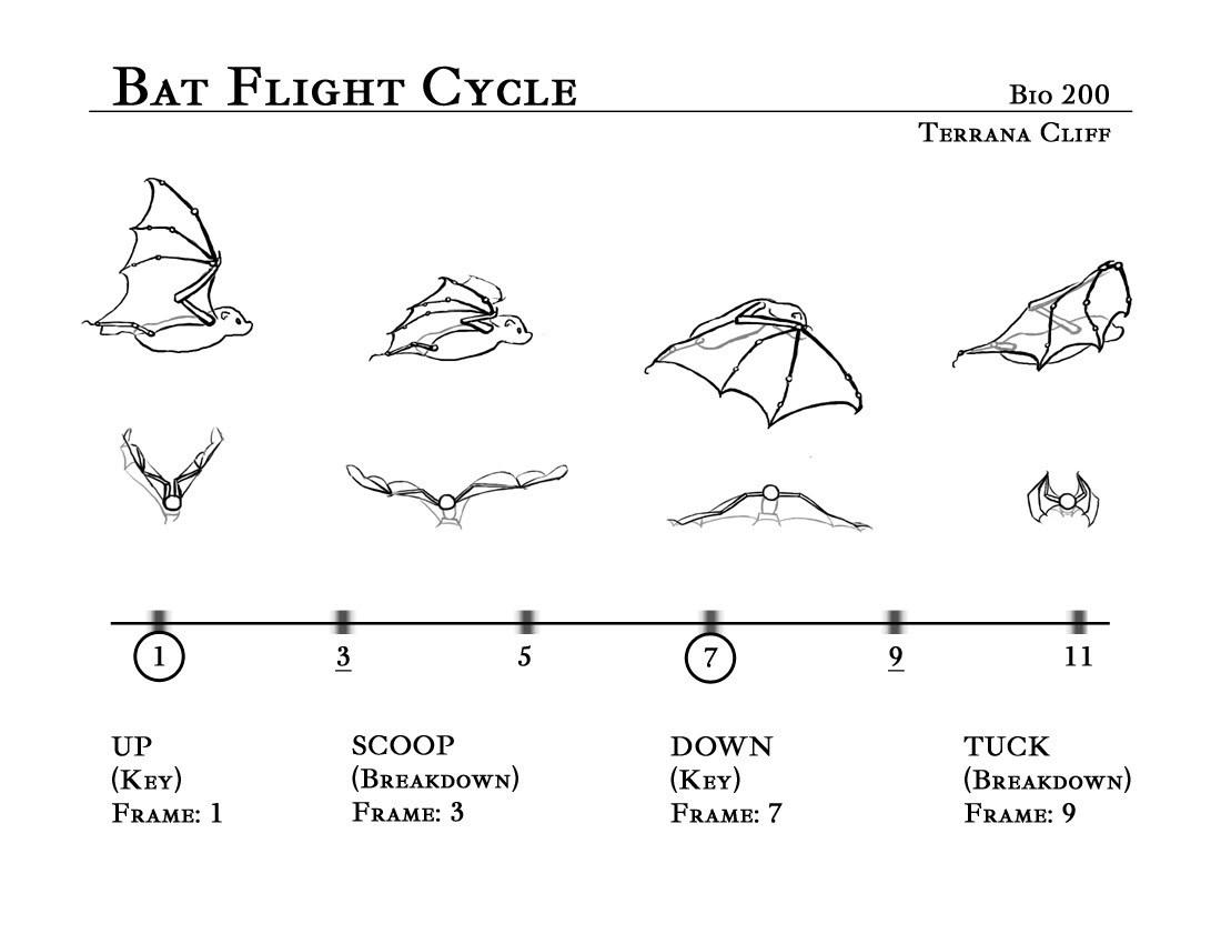 Drawing Art Bat Draw Link Bats Anatomy Chart Reference