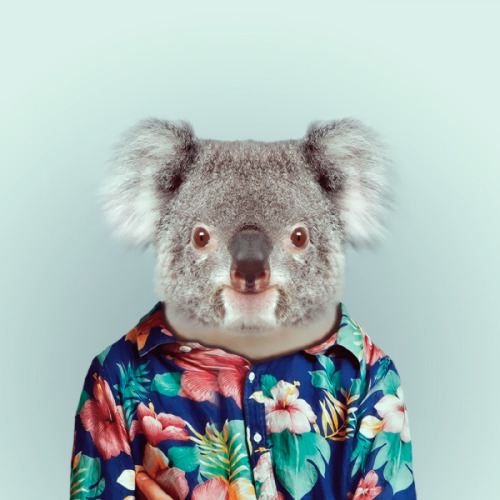 KOALA by Yago Partal for ZOO PORTRAITS