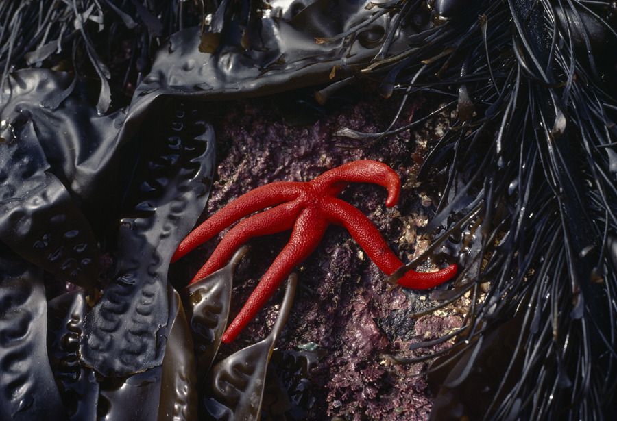 A sea star amid dark strands of kelp at low tide in British Columbia, August 1981.Photograph by Sam Abell, National Geographic