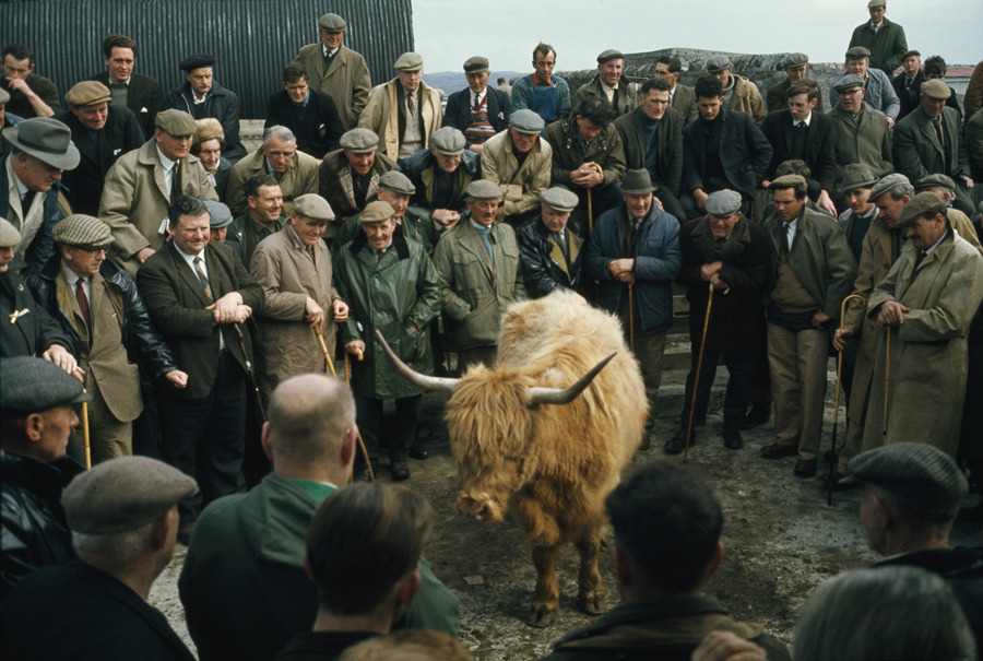 A Highland cow is bid on at an auction, May 1970.Photograph by Kenneth Macleish, National Geographic