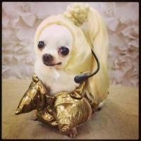 LOL funny cute Halloween dogs costume Madonna wig myania