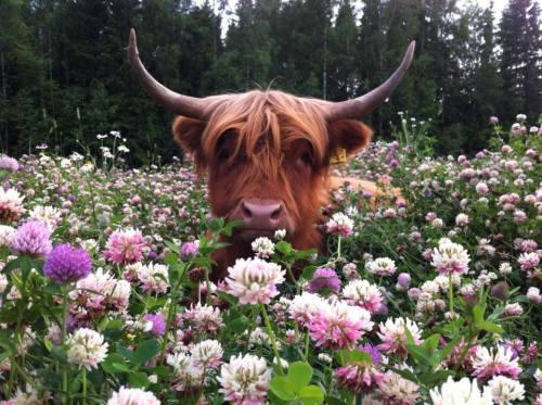Bull in Meadow of Clover