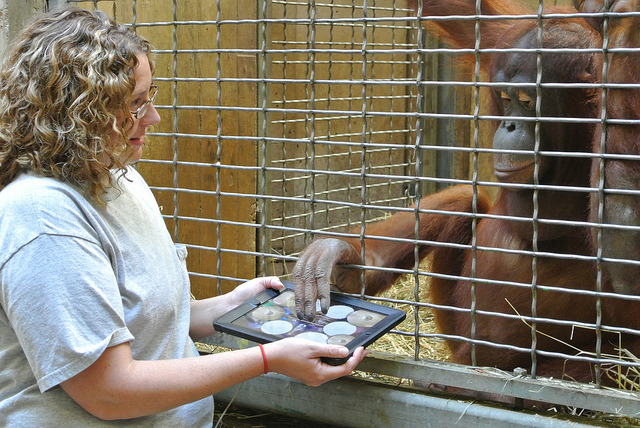 Orangutan and iPad