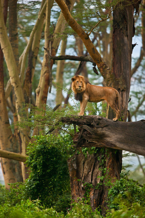llbwwb: African Lion 1 by suha -catman