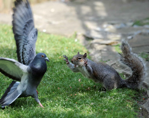 A grey squirrel warns off a pigeon who was trying to steal his nuts in a back garden in the Queens Park area of Brighton (via Animal pictures of the week: 28 May 2010 - Telegraph)