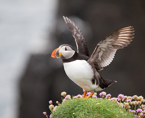 Puffin (by Chee Seong)