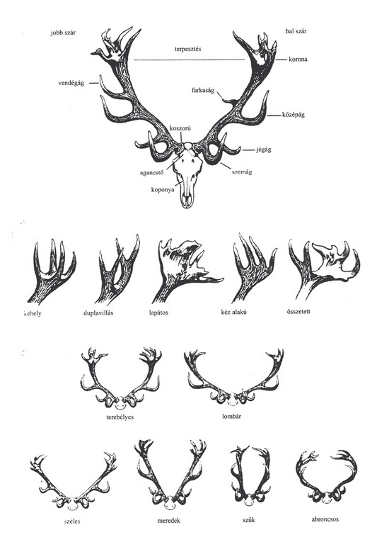 Hungarian antler guide