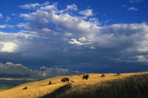 El National Bison Range en Montana es administrado por los EE.UU. Fish and Wildlife Service como parte del Sistema Nacional de Refugios de Vida Silvestre.  Fue establecido en 1908 y es uno de los más antiguos Refugios de Vida Silvestre de la nación.  Como su nombre lo indica, el Refugio fue creado para apoyar a una población de bisonte americano.  Es el hogar de alrededor de 350 a 500 de estos animales.  La otra fauna grande que se encuentra en la gama incluyen alces, cola blanca y venado bura, el berrendo, el borrego cimarrón y el oso negro.  Debido a sus pastizales abiertos, la Cordillera de Bison es un lugar para que el público disfrute de un excelente y observación de vida silvestre photography.Photo: Ryan Hagerty, USFWS