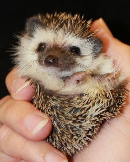 theanimalblog:</p> <p>Baby Hedgehog<br />