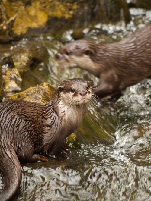 worldlyanimals: Otters (mszafran)