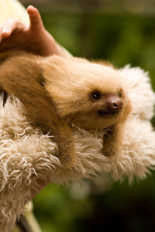funkysafari:</p><br /> <p>Random facts: Sloths only poop once a week and have very bad eyesight. Their very soft hair grows in all directions because they are upwards as much as downwards.<br /><br /> by asirap<br /><br />