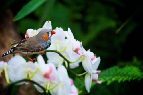 animals-animals-animals: Zebra Finch (by Patric Wilms)