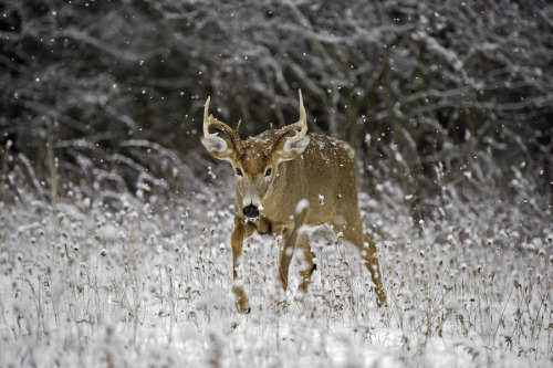 animals-animals-animals: White-tailed Deer (by Daniel Parent)