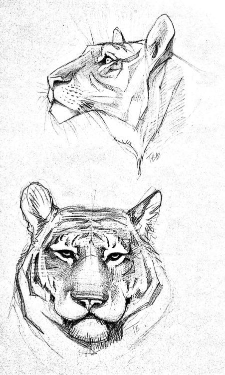 pencil doodles tigers practice sketches f0xyme •