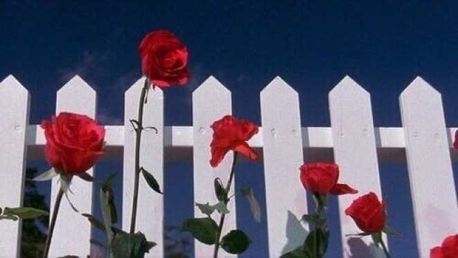 Red roses against a white picket fence and a blue sky