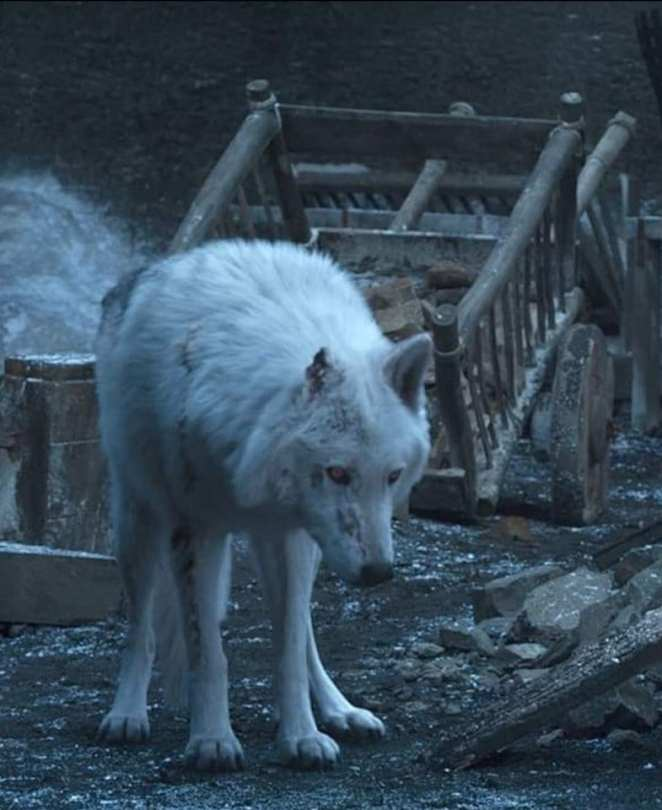 Ghost the direwolf is sad as Jon Snow leaves him behind