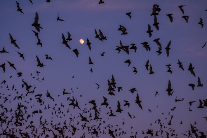 Lots of bats fly in the sky