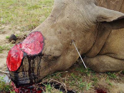 Rhino poaching has increased 2000% in 3 years. (source)