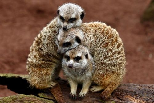 Three stripy meerkats are huddled together on a bit of wood, so that their little furry heads are all in a stack.