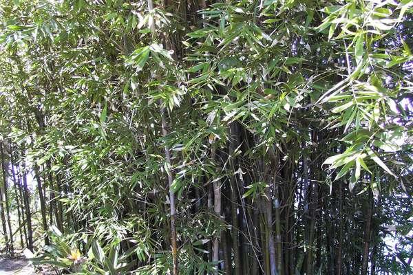 bamboo border patrol