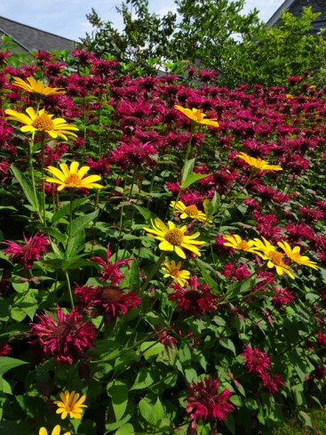 Bee Balm and Coneflowers neck high!
