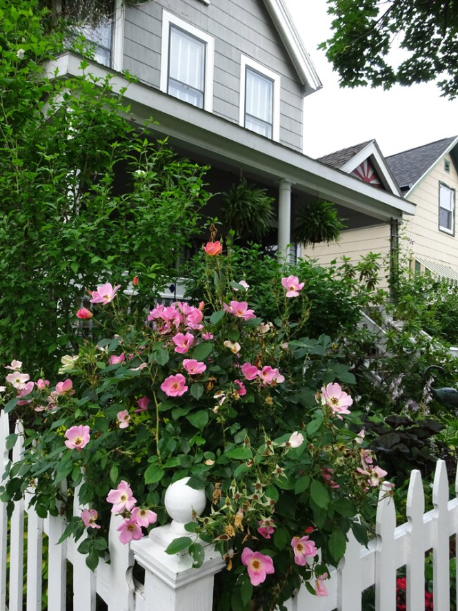 Pink Roses on the white picket fence